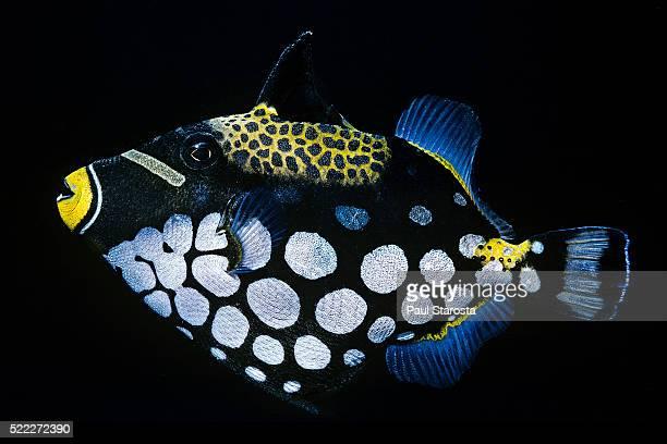 Balistoides conspicillum (clown triggerfish, bigspotted triggerfish)