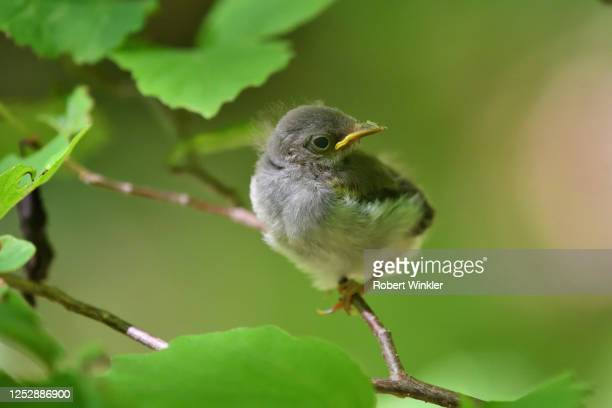 ball of fluff - warbler stock pictures, royalty-free photos & images