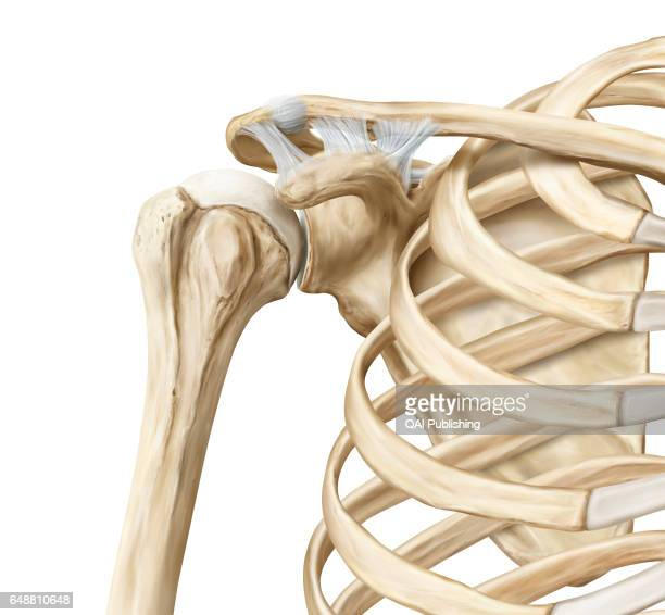 Ball And Socket Joint Stock Photos And Pictures Getty Images