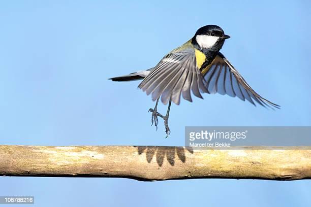 ballerina bird - cinciallegra foto e immagini stock