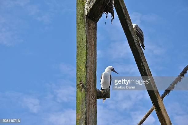 """ballestas islands guano dock and birds - """"markus daniel"""" stockfoto's en -beelden"""
