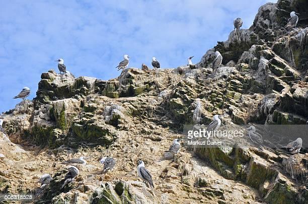 Ballestas Islands Sea Birds, Paracas, Peru