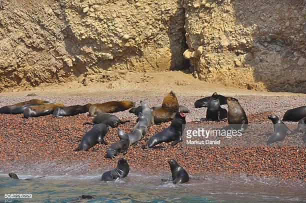 "ballestas islands sea lions colony - ""markus daniel"" stock pictures, royalty-free photos & images"