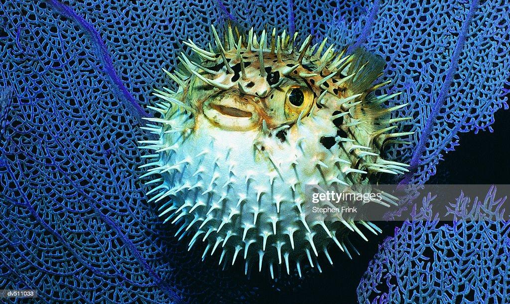 Balloon fish (Diodon holocanthus tatraodontidae) : Stock Photo