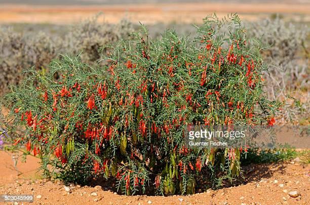 balloon pea or cancer bush -sutherlandia frutescens-, namaqualand, south africa, africa - ナマクワランド ストックフォトと画像