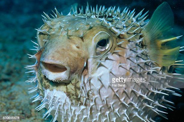 Balloonfish Expanded