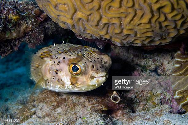 Balloonfish under brain coral Diodon holocanthus Commonly known as a spiny puffer Curacao Netherlands Antilles Digital Photo