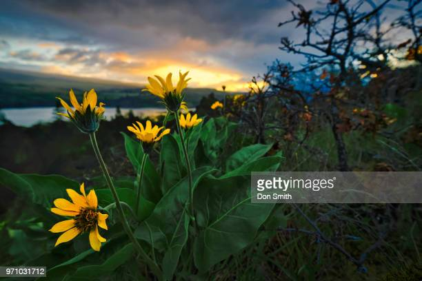 balsamoot and columbia river - don smith stock pictures, royalty-free photos & images