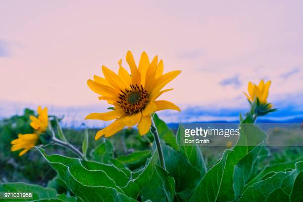 balsamroot against sunset sky - don smith stock pictures, royalty-free photos & images