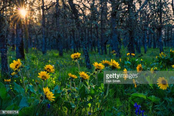 balsamroot and forest - don smith stock pictures, royalty-free photos & images