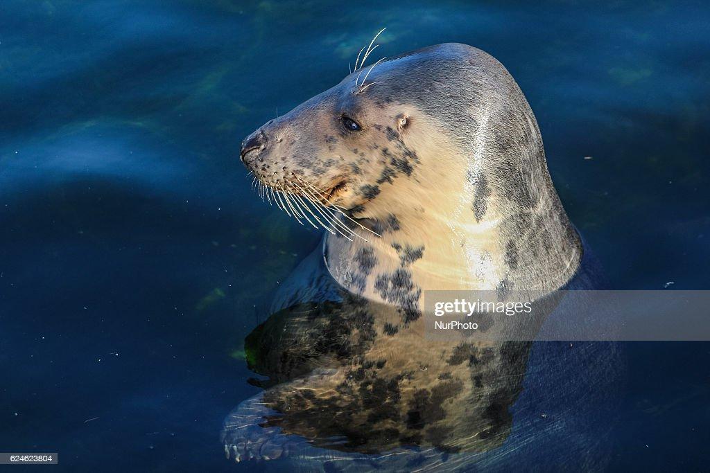 Fokarium in Hel helps to save Gray Seal : Nachrichtenfoto