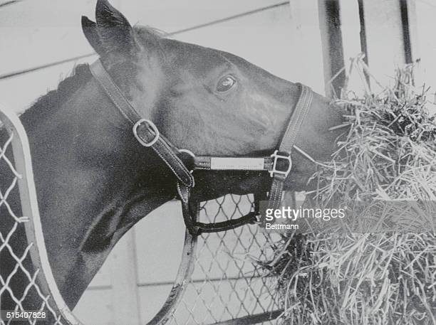 Calumet Farms' Alydar seems to be giving the photographer the evil eye as he munches alfalfa after an early morning workout here Alydar is preparing...