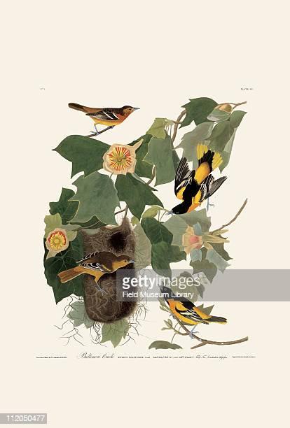 Baltimore or Northern Oriole Plate 12 in John James Audubon's Birds of America late 1830s