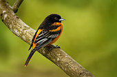 Baltimore Oriole - Icterus galbula is a small icterid blackbird common in eastern North America as a migratory breeding bird. Orange, yellow and black color bird