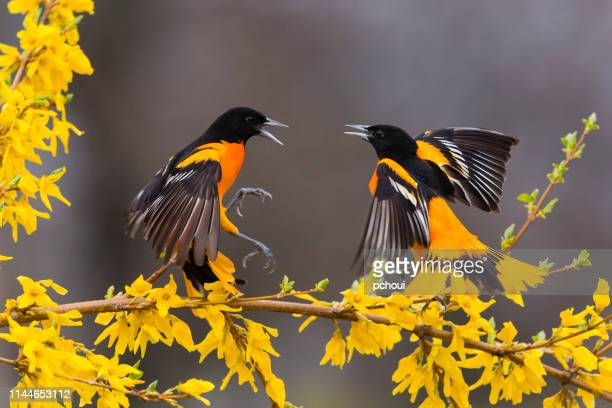 baltimore oriole, icterus galbula, two male birds fighting - songbird stock pictures, royalty-free photos & images