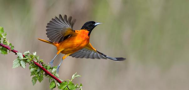 Baltimore Oriole in flight, male bird, Icterus galbula 532028122