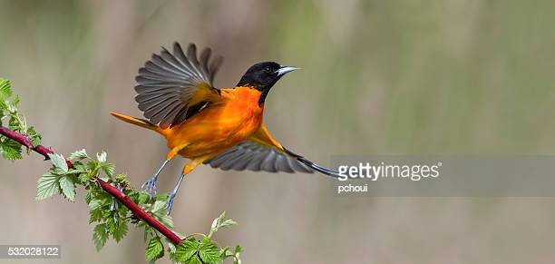 baltimore oriole in flight, male bird, icterus galbula - beauty in nature stock pictures, royalty-free photos & images