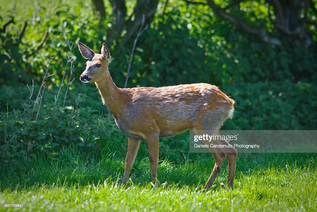 Bambi : Stock Photo