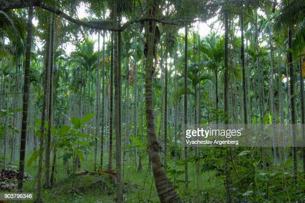 Bamboo and Liana forest on Andaman islands, Indian ocean