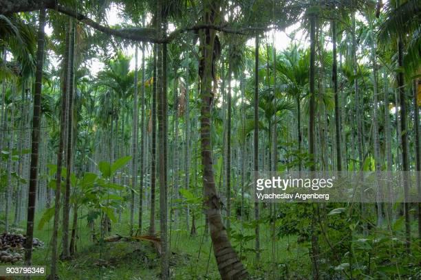 bamboo and liana forest on andaman islands, indian ocean - árvore de folha caduca - fotografias e filmes do acervo