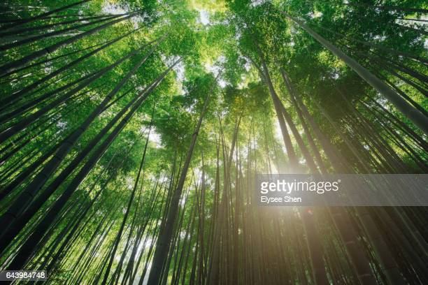 bamboo and sunshine - grove stock pictures, royalty-free photos & images