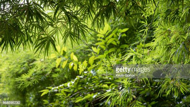 bamboo bush - tropical bush stock photos and pictures