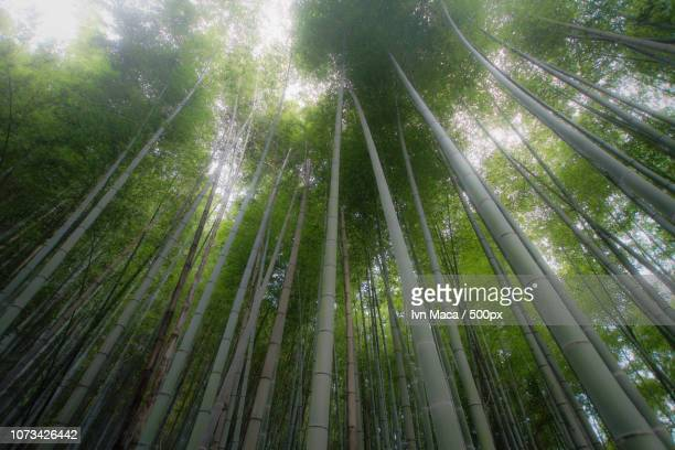 bamboo dreams - maca plant stock photos and pictures