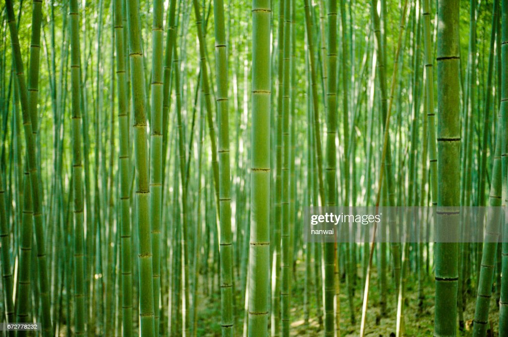 Bamboo forest 02 : Stock Photo