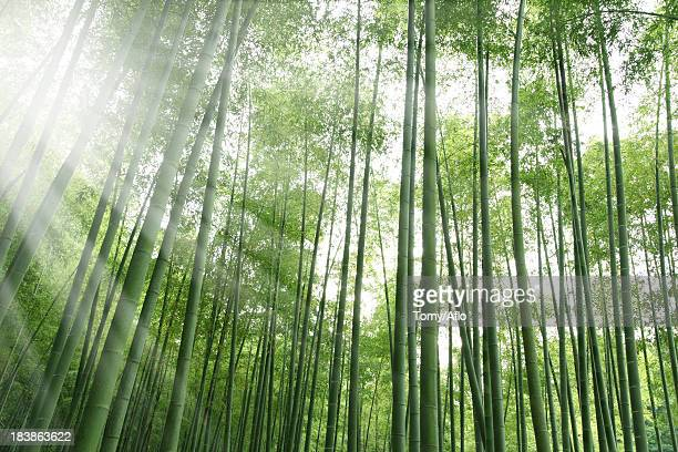 bamboo forest and sunlight - 五月 ストックフォトと画像