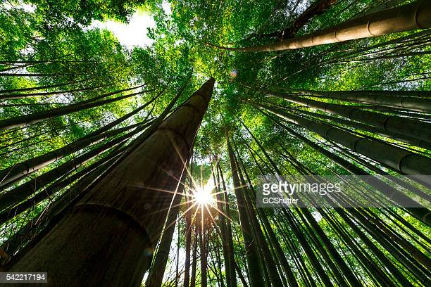 bamboo forest, arashiyama, kyoto, japan - tall high stock photos and pictures
