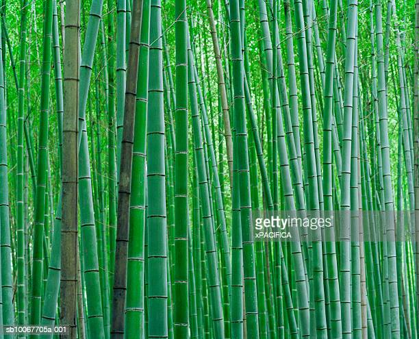 bamboo forest, close-up - graspflanze stock-fotos und bilder