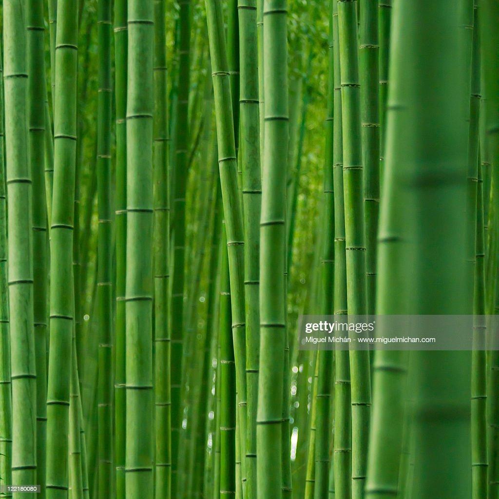 Bamboo forest in Arashiyama, Kyoto, Japan : Stock Photo