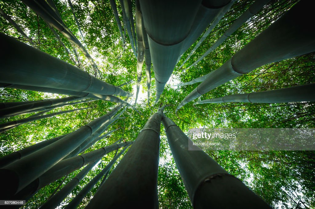 Bamboo forest in Asia in day : Stock Photo