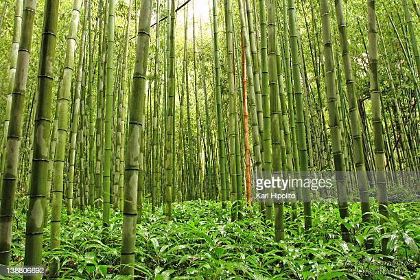bamboo forest in kyoto in japan - bamboo forest stock photos and pictures