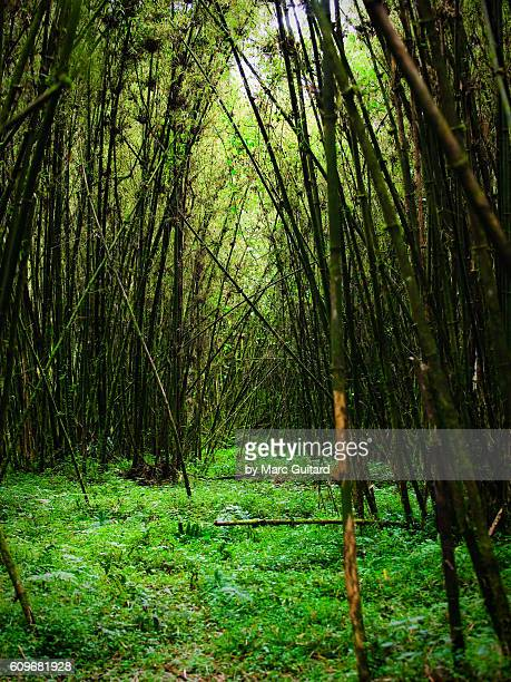 A bamboo forest is a habitat for the endangered golden monkey (Cercopithecus kandti) in Volcanoes National Park, Rwanda.