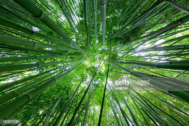 bamboo forest on maui - hawaii - bamboo forest stock photos and pictures