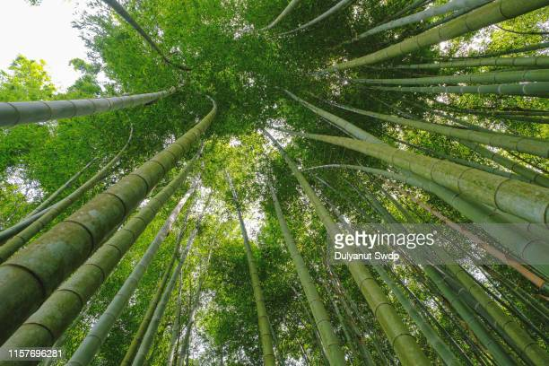 bamboo forest - photosynthesis stock photos and pictures