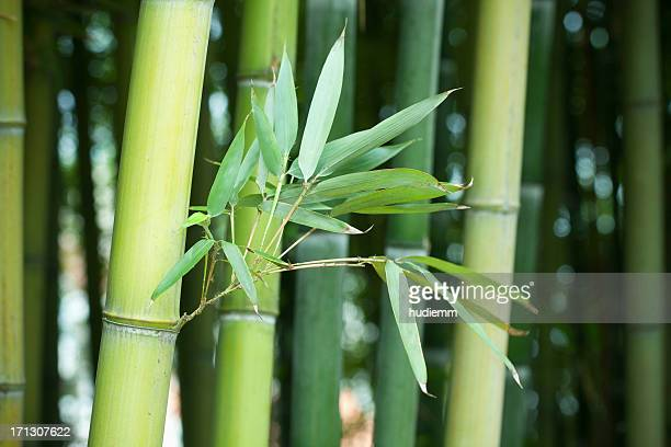 bamboo forest - wilderness area stock pictures, royalty-free photos & images