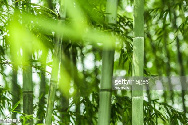bamboo forest - bamboo stock photos and pictures