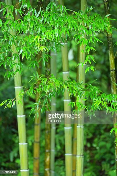 floresta de bambu - folha de bambu - fotografias e filmes do acervo