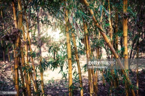 bamboo forest taken in kunming city, yunnan province, china - south china stock pictures, royalty-free photos & images