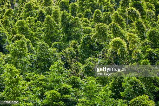 bamboo forest tree top on the pipiwai trail,hana forest reserve,hana,maui,hawaii,usa - spesso foto e immagini stock