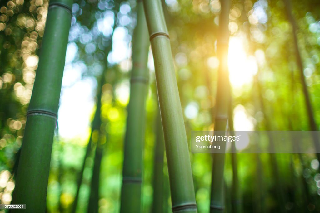 Bamboo forest  with sunshine in the morning : Stock Photo