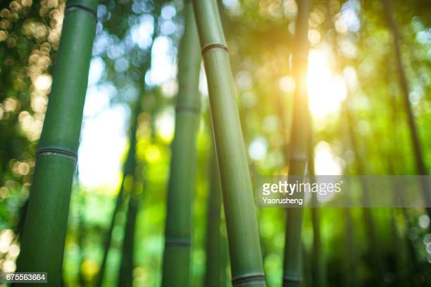 bamboo forest  with sunshine in the morning - bamboo - fotografias e filmes do acervo