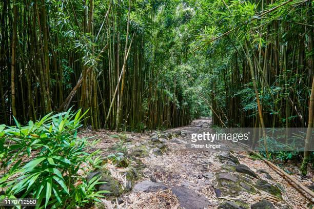 bamboo forest,hana forest reserve,hana,maui,hawaii,usa - spesso foto e immagini stock
