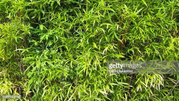 bamboo grass bush - folha de bambu - fotografias e filmes do acervo