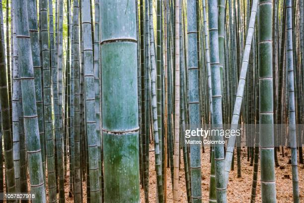 bamboo grove, arashiyama, kyoto, japan - grove_(nature) stock pictures, royalty-free photos & images