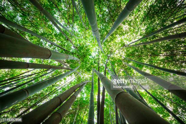 bamboo grove, bamboo forest in asia . nature backgrounds . - grove_(nature) stock pictures, royalty-free photos & images