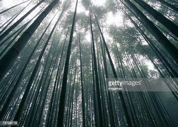 Bamboo grove in fall