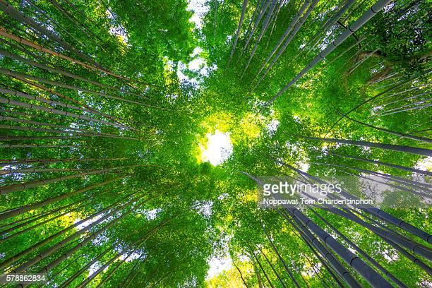 Bamboo grove, Kyoto, Japan